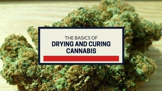 Drying and Curing Cannabis