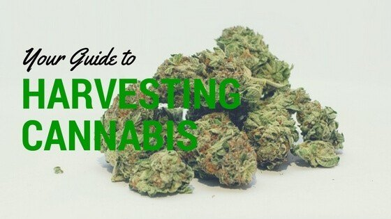 Harvesting Cannabis