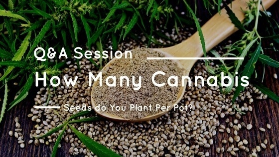 How Many Cannabis Seeds Per Pot