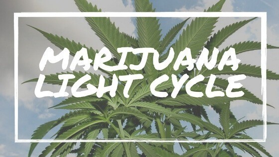 Marijuana Light Cycle