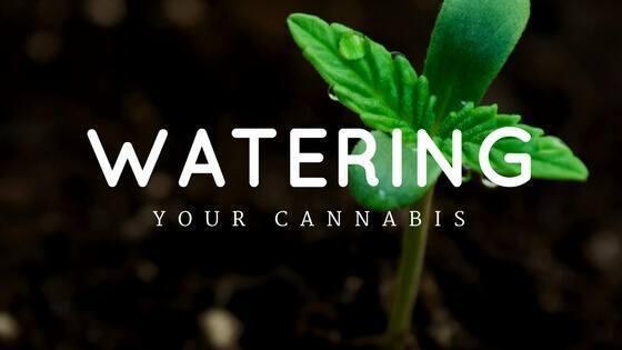 watering cannabis
