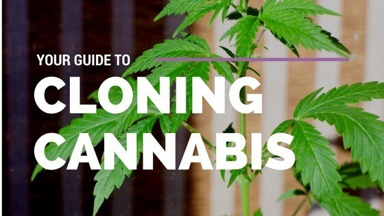 Cannabis Cloning The Complete Guide To Endless Cannabis