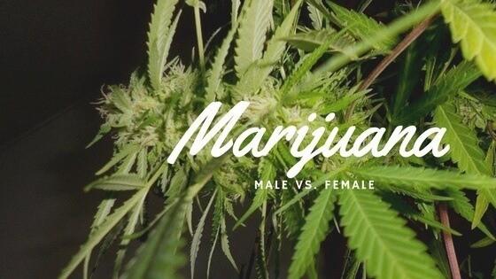 Marijuana Male vs Female