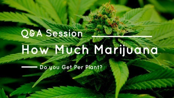 How Much Marijuana Per Plant