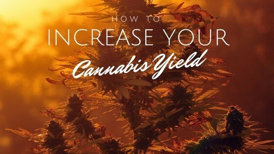 how to increase cannabis yield