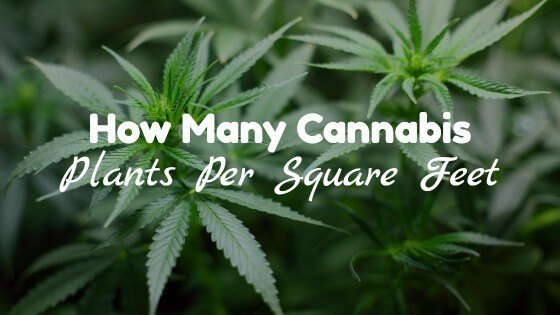How Many Cannabis Plants Per Square Foot?