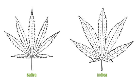 Untitled design 10 1 - Indica vs Sativa: What are the Differences?