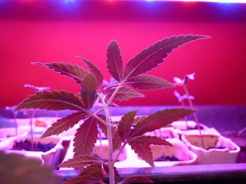 Growing Weed in an Apartment: The Do's and Don'ts   THC Overdose