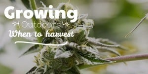 Growing Cannabis Outdoors When To Harvest