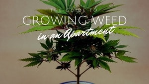 Growing Weed Apartment