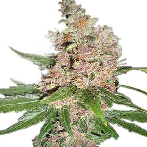Best Feminized Strains