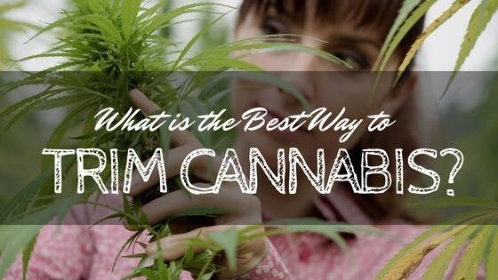 Best Way to Trim Cannabis
