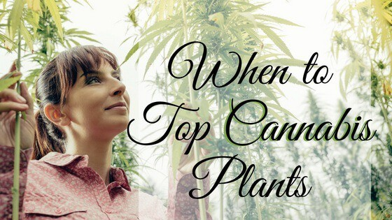 When to Top Cannabis Plants