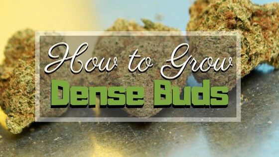 How to Grow Dense Buds