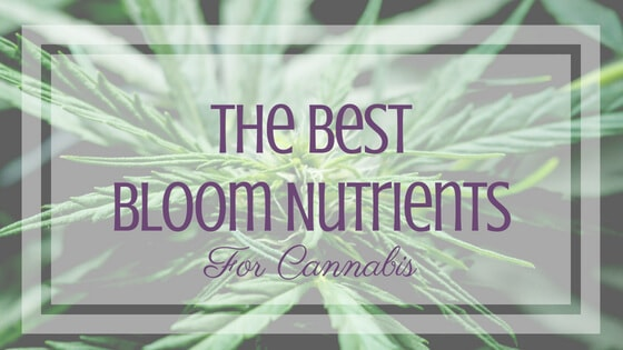Best Bloom Nutrients for Cannabis