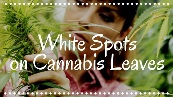 White Spots on Cannabis Leaves