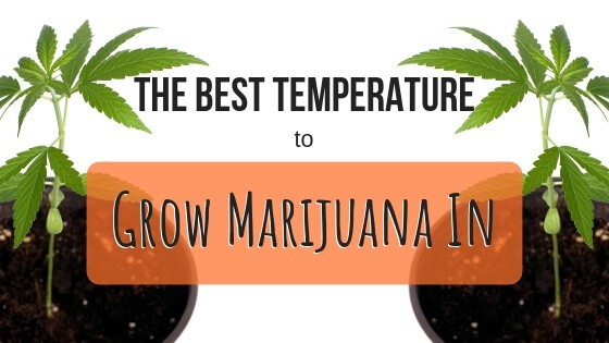 Best Temperature to Grow Marijuana