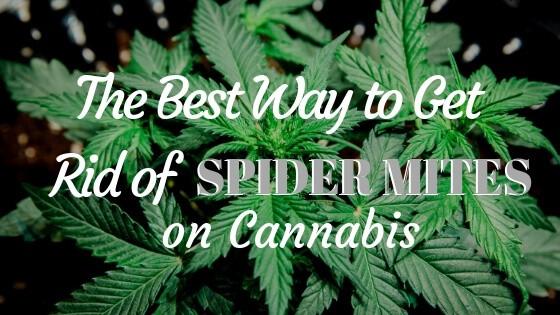 Best Way to Get Rid of Spider Mites on Cannabis