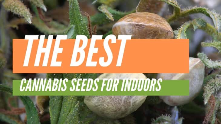 Best cannabis seeds