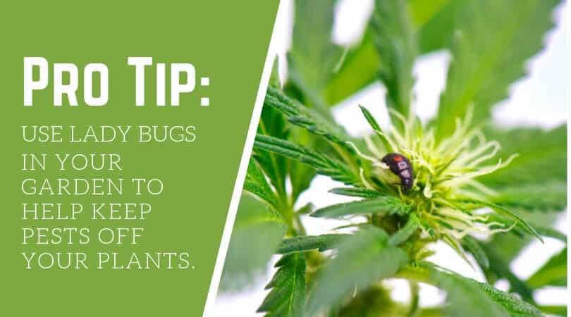 Use ladybugs to keep pests off cannabis