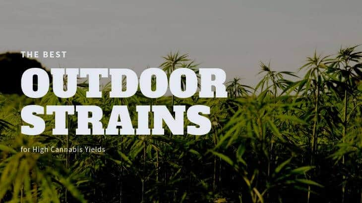 Best Outdoor Strain For High Yields Featured Image