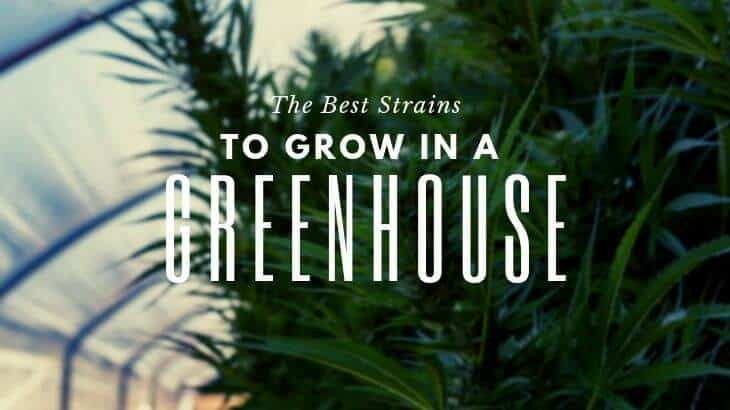 Best Strains to Grow in a Greenhouse Main